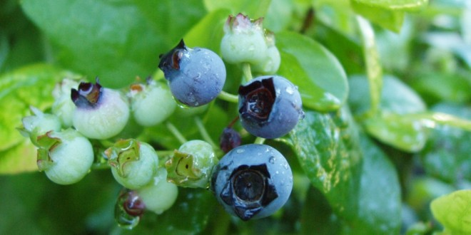 Mature Blueberry Bushes for Sale